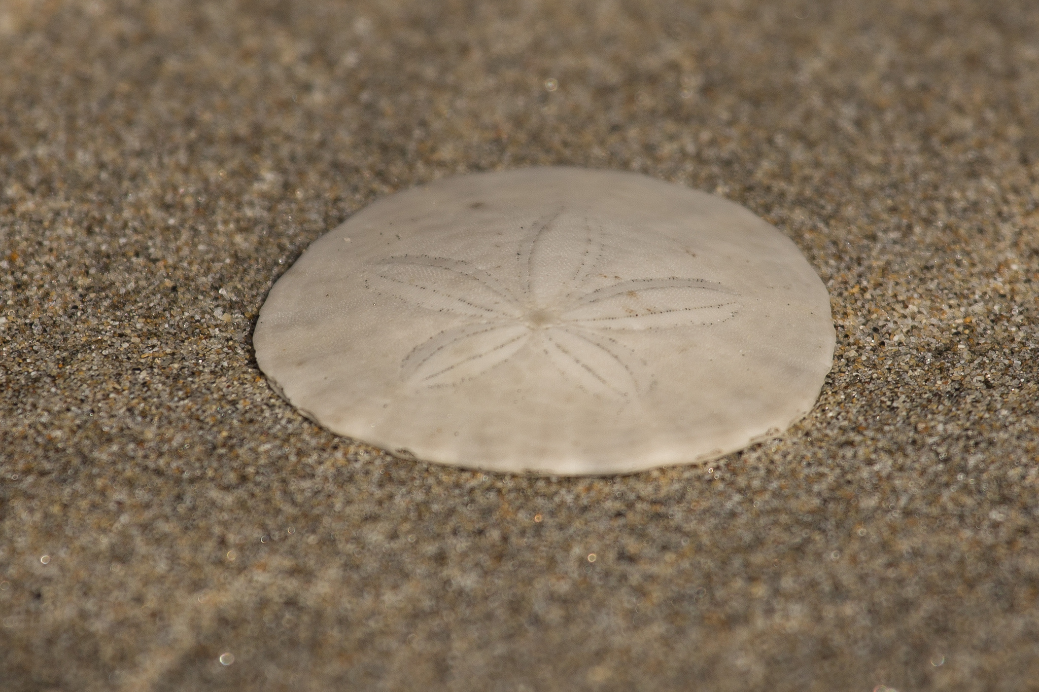 Image of eccentric sand dollar sea urchin
