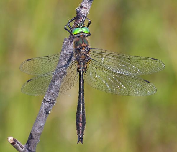 Image of American Emerald