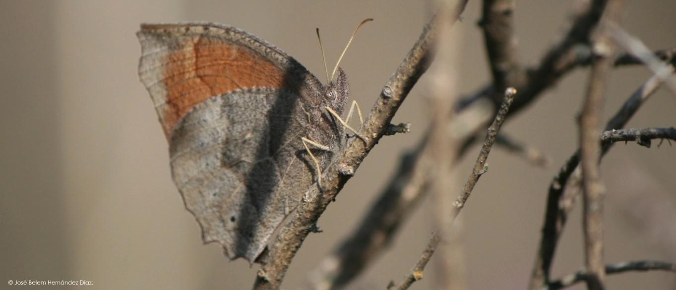 Image of <i>Pindis squamistriga</i>