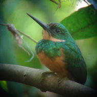Image of Rufous-tailed Jacamar