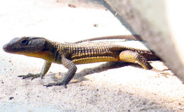 Image of Blue-spotted girdled lizard