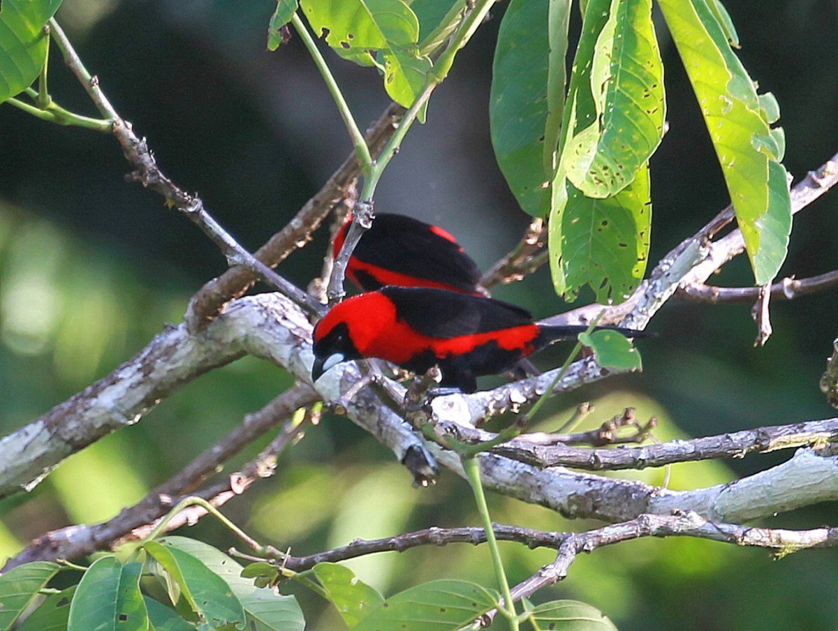 Image of Masked Crimson Tanager