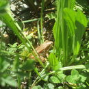 Image of Iberian frog
