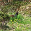 Image of Cantabrian capercaillie