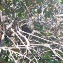 Image of Harris's Sparrow