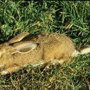 Image of Granada Hare