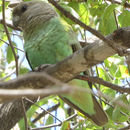 Image of Meyer's Parrot
