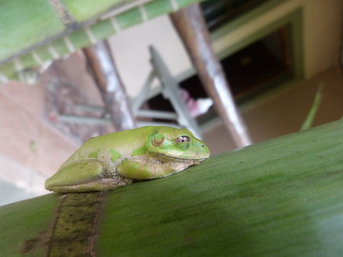 Image of Natal Tree Frog