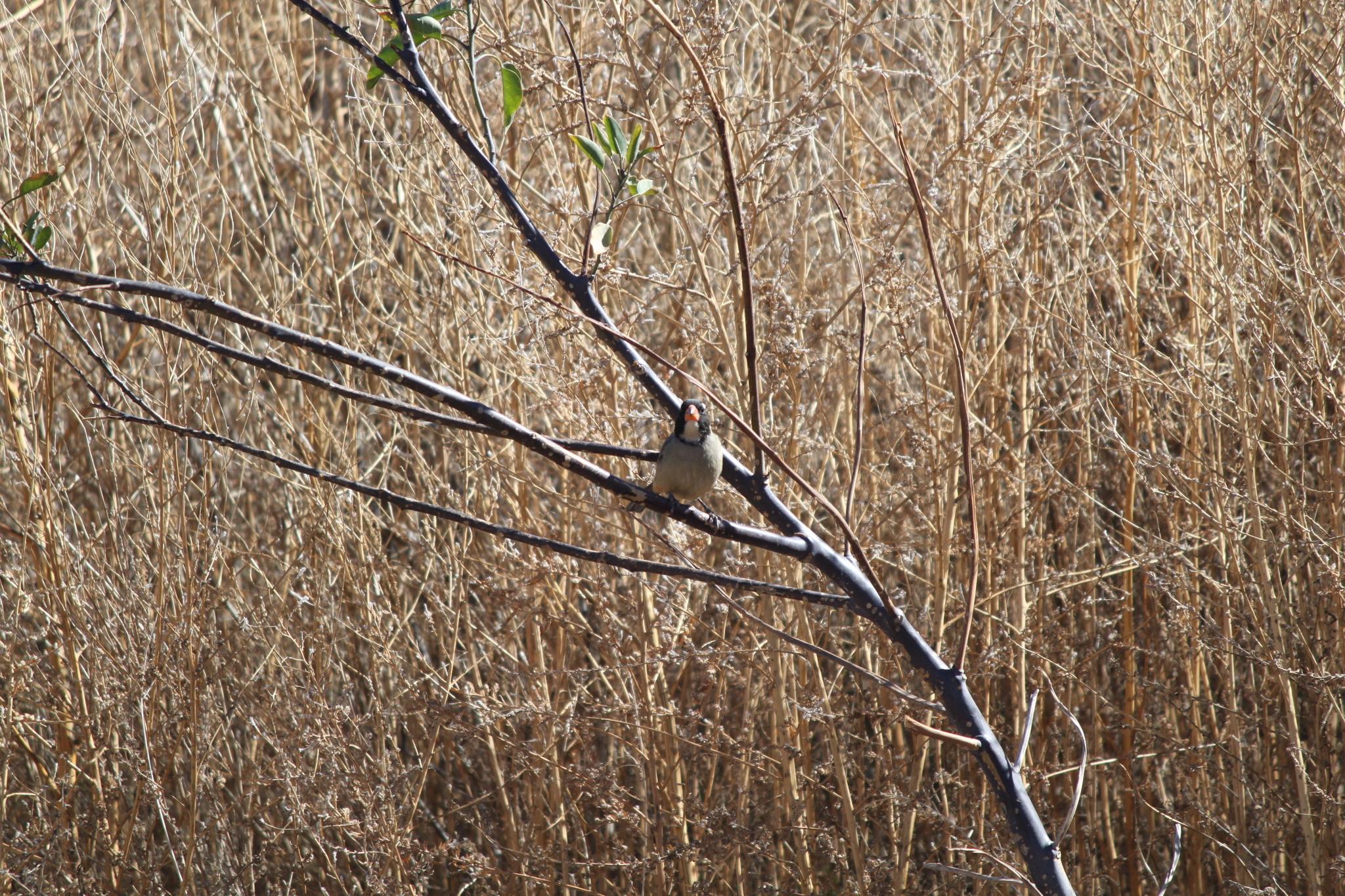 Image of Golden-billed Saltator