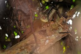 Image of Common Tree Shrew