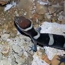 Image of Black Banded Gecko