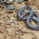 Image of Pygmy Wolf Snake