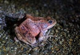 Image of California Red-legged Frog