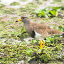 Image of Gray-headed Lapwing