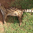 Image of Blotched Genet