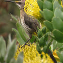 Image of Cape Sugarbird
