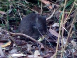 Image of Long-nosed Potoroo