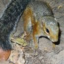 Image of Fire-footed Rope Squirrel
