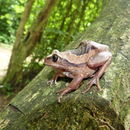 Image of Mozambique tree frog