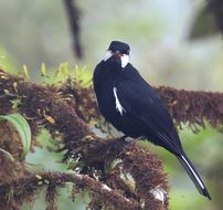 Image of Black Solitaire