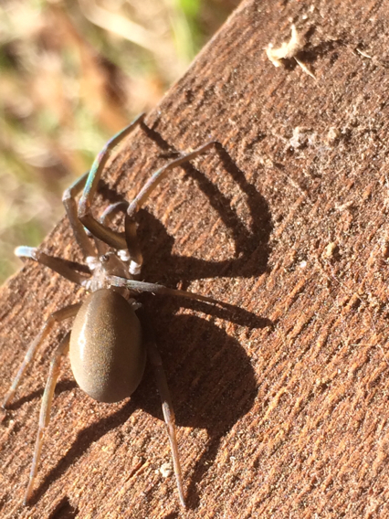 Image of Southern House Spider