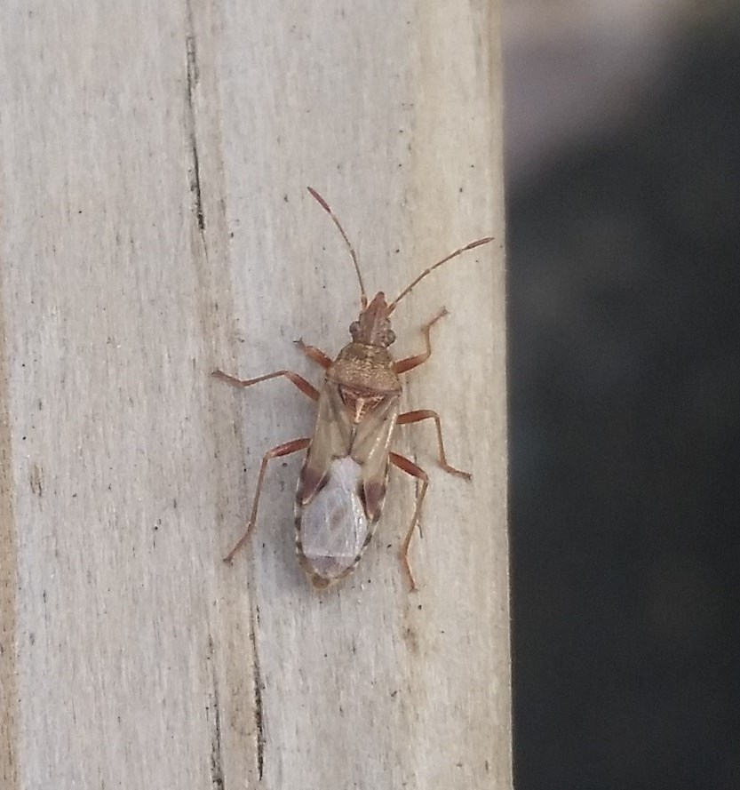 Image of sycamore seed bug