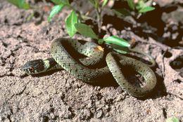 Image of Colkhis Water Snake