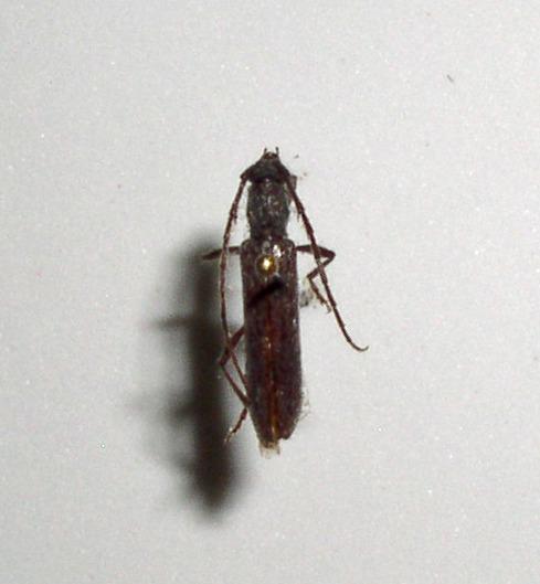 Image of <i>Aneflomorpha seminuda</i> Casey 1912