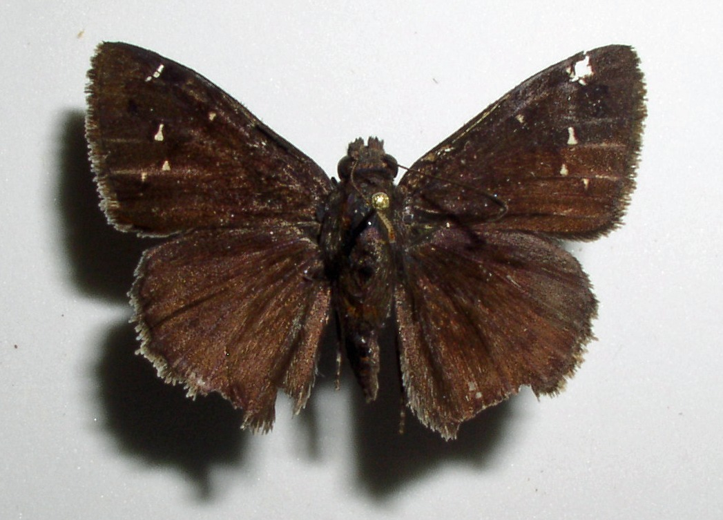 Image of Northern Cloudywing