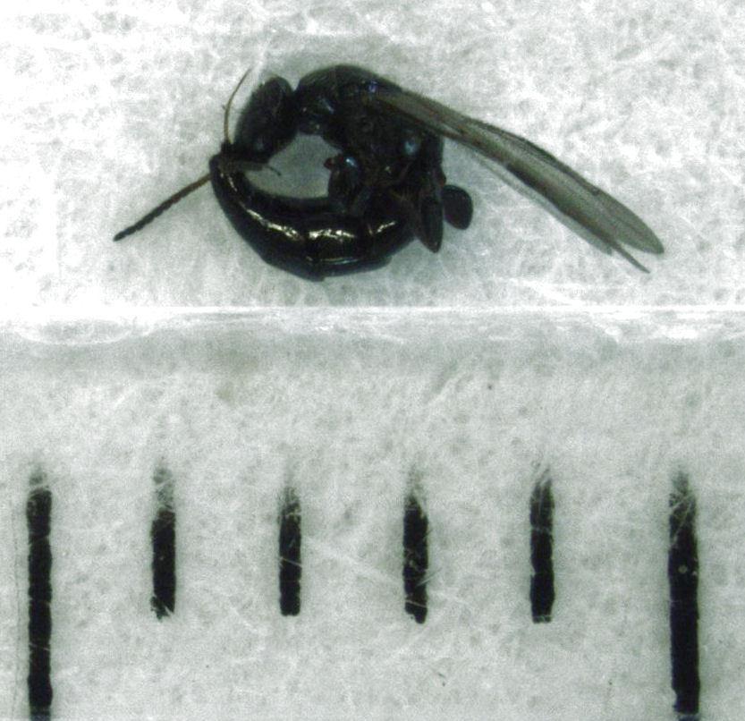 Image of <i>Eupsenella insulana</i> Gordh & Harris 1996