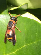 Image of Red-marked Pachodynerus