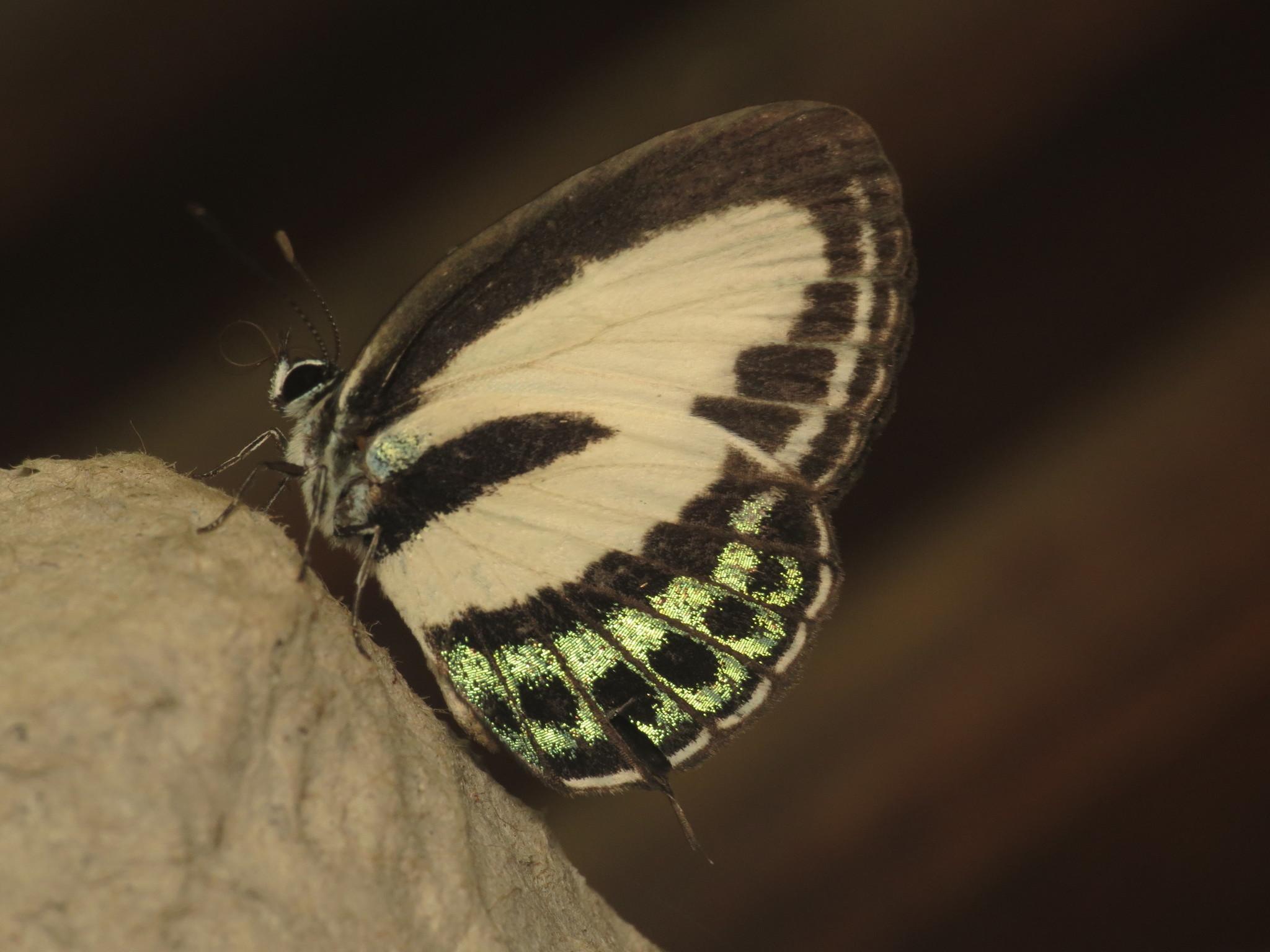 Image of <i>Nacaduba cyanea</i>