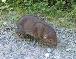 Image of Mountain Beaver