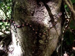 Image of Blunthead Tree Snake
