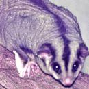 Image of Squirrel Glider