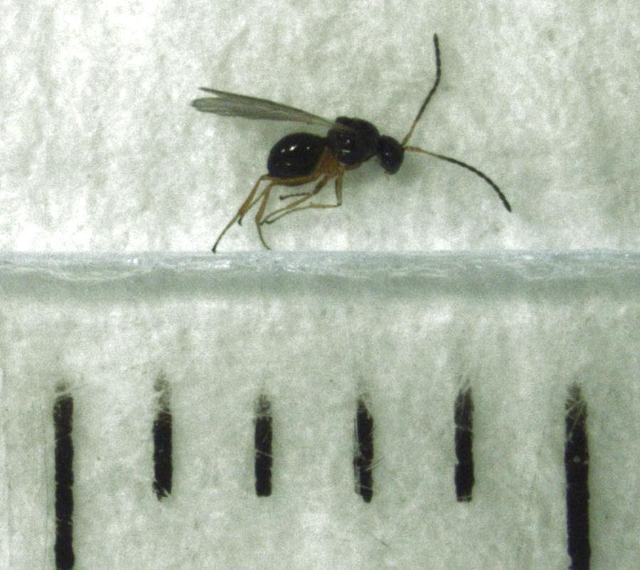 Image of Parasitoid wasp