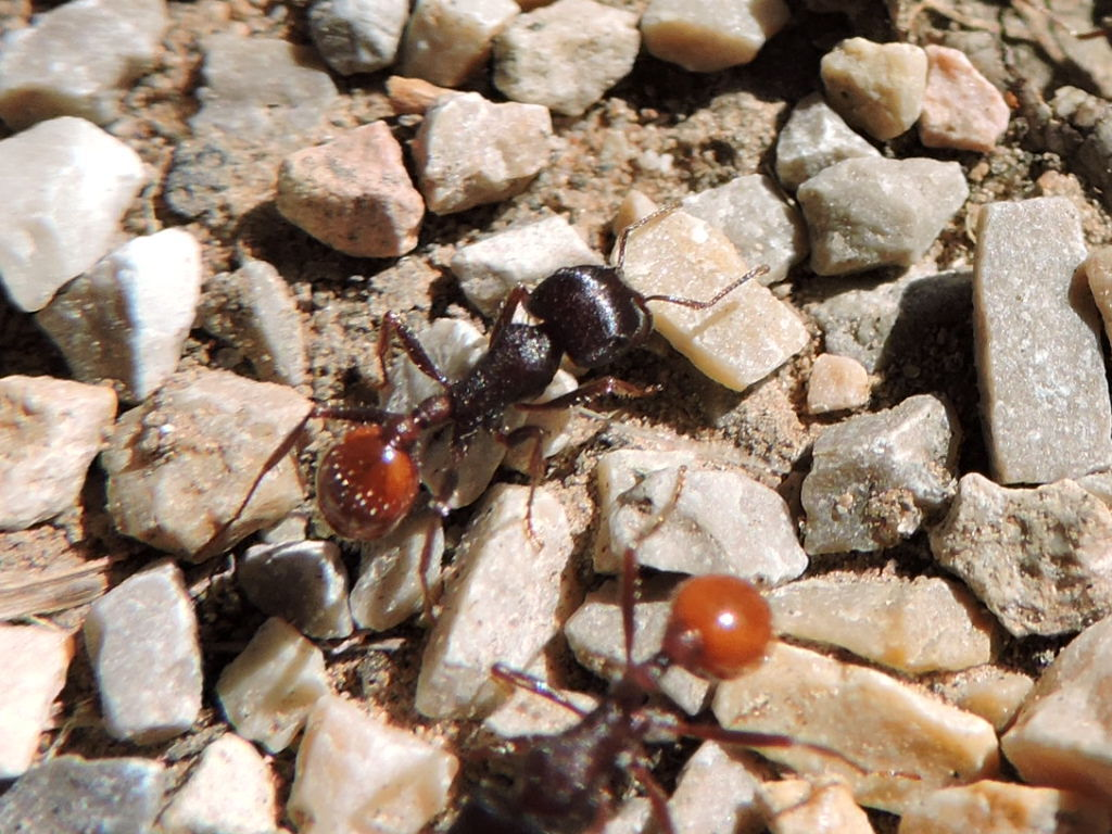 Image of Rough Harvester Ant