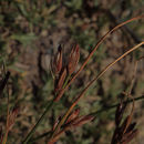 Image of <i>Juncus parryi</i>