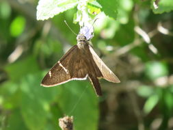 Image of Brown Longtail