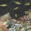 Image of Apogon cyanosoma