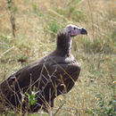 Image of Lappet-faced Vulture