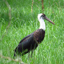 Image of Woolly-necked Stork