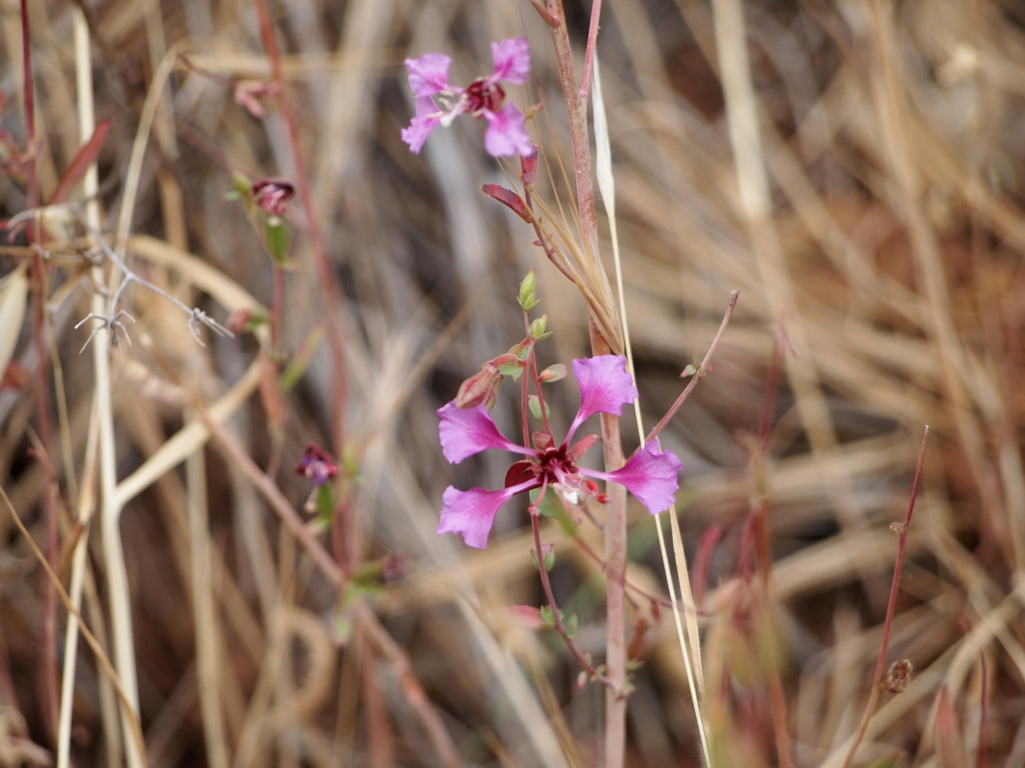 Image of <i>Clarkia unguiculata</i>
