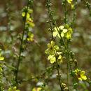 Image of <i>Verbascum sinuatum</i>