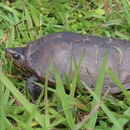 Image of Herrera's Mud Turtle