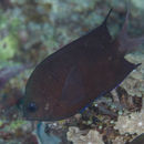 Image of Spiny chromis