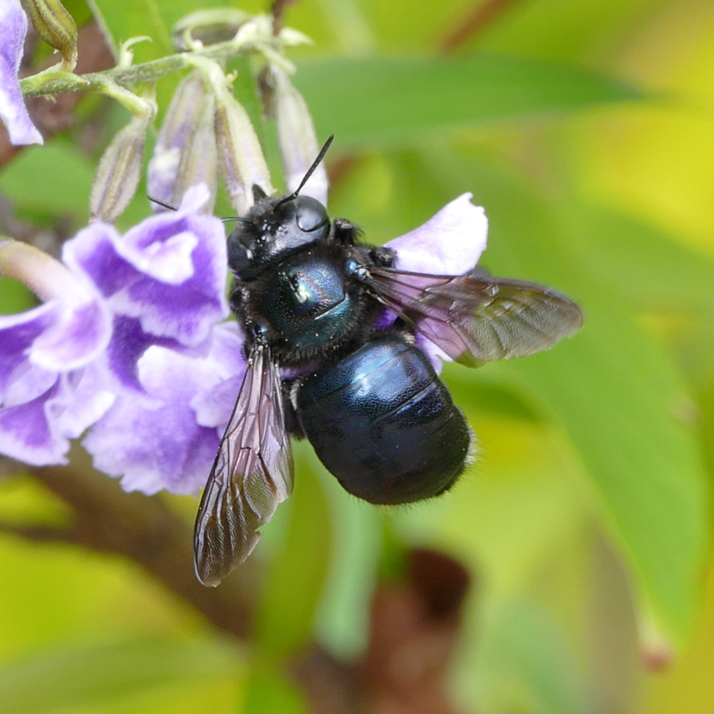 Image of Southern Carpenter Bee