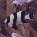 Image of Black-tailed dascyllus