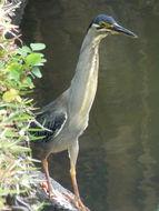 Image of Striated Heron