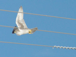 Image of Prairie Falcon